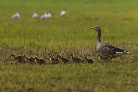anser: greylag goose Anser anser with fledglings Stock Photo