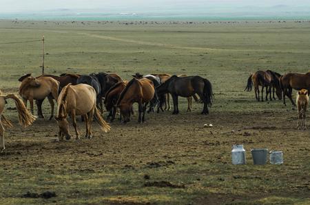 mares milk mongolia, horse milk Stock Photo