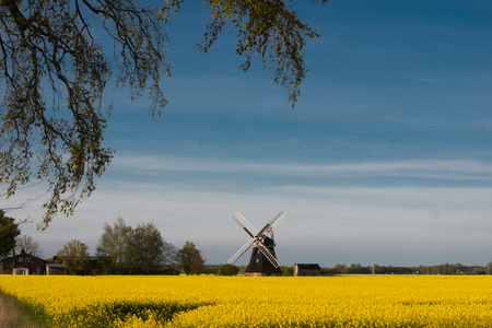 Yellow raps field with windmill