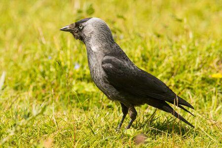 Hooded Crow Corvus corone