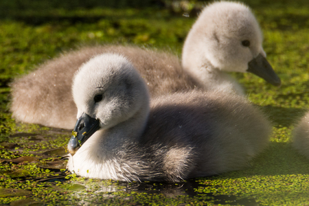 Mute Swan with young birds