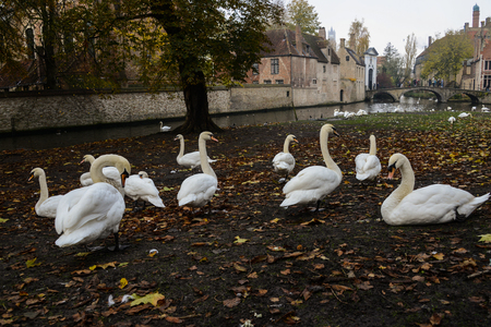Mute Swans living in a town Stock Photo