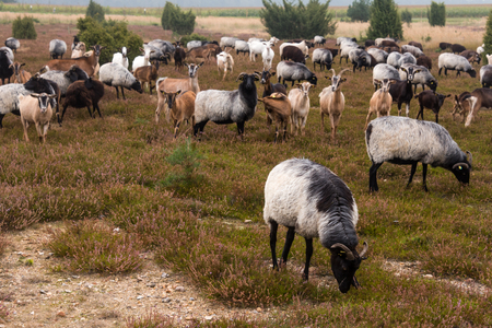 typical: moorland sheep herd in the luneburg heather Stock Photo