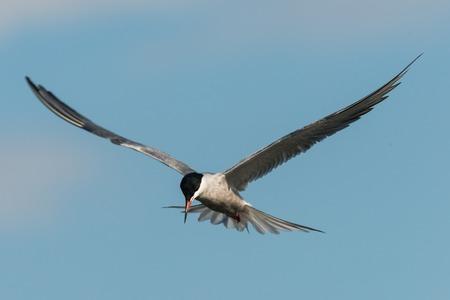 Arctic tern Sterna paradisaea