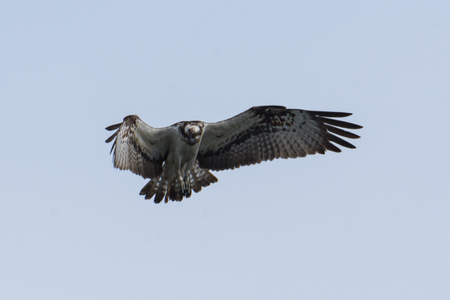 Osprey Hunting Pandion haliaetus