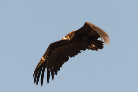 flying Cinereous or black vulture Aegypius monachus in Extramadura Spain