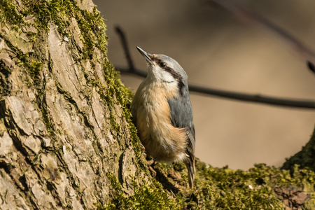 Eurasian or wood nuthatch Sitta europaea looking for food on a branch