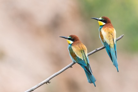 bee-eaters, Merops apiaster, siting on a branch