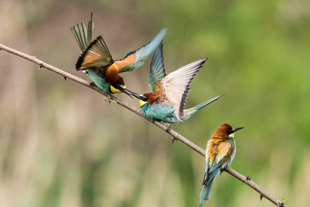 Colony of european bee-eaters, Merops apiaster, sits on a branch in germany Stock Photo