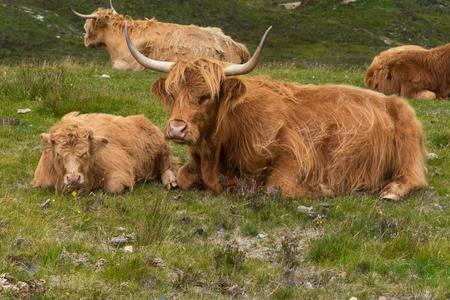 Highland cattle and  Scottish Gaelic on a  medow in Scottish Highlands