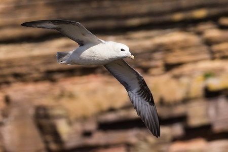 northern fulmar Fulmarus glacialis, in flight over water, Scotland, Great Britain Imagens - 115775078