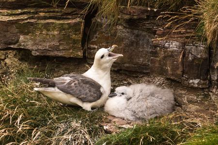 northern fulmar Fulmarus glacialis, fulmar, Arctic fulmar pair at nest site calling in Scotland, Great Britain 写真素材