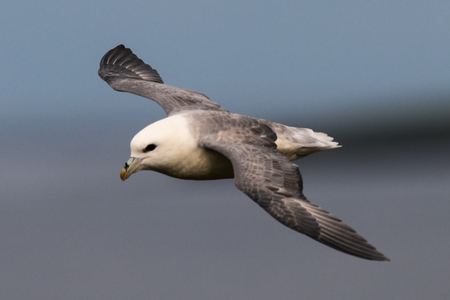 northern fulmar Fulmarus glacialis, in flight over water, Scotland, Great Britain