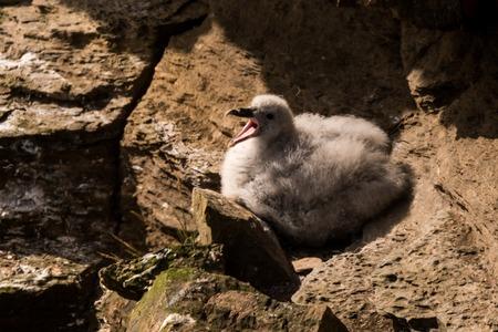 young chicken northern fulmar Fulmarus glacialis, fulmar, Arctic fulmar in Scotland, Great Britain