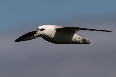 northern fulmar Fulmarus glacialis, in flight over water, Scotland, Great Britain