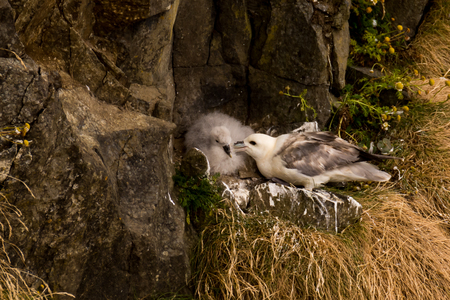northern fulmar Fulmarus glacialis, fulmar, Arctic fulmar in Scotland, Great Britain