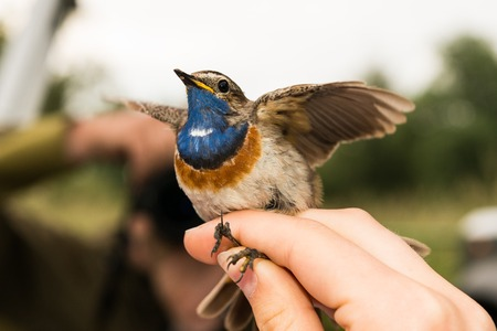 Bluethroat is ringed by an ornithologist, , Germany