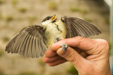 Great tit is ringed by an ornithologist, Ostfriesland, Lower Фото со стока - 115775921