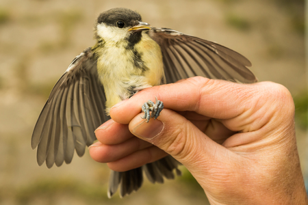 Great tit is ringed by an ornithologist, Ostfriesland, Lower Stock Photo