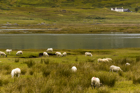 Domestic sheep, Ovis aries, on pasture, Scottish Blackface, Morvern, Highlands, Scotland, UK Фото со стока