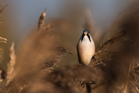 Bearded tit, Panurus biarmicus russicus, female in autumn on reed grass, Federsee, Baden-Wurttemberg, Germany