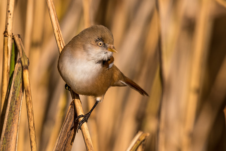 Bearded tit, Panurus biarmicus russicus, male in autumn on reed grass, Federsee, Baden-Wurttemberg, Germany