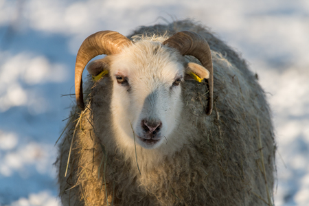 old house sheep breed Skudde in winter, red list, willow, captive, Brandenburg, Germany Europe Stock Photo