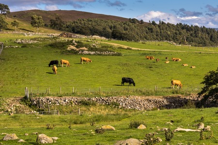 typical, rural landscape with farms, pastures, cattle Highlands Scotland Stok Fotoğraf