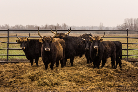 Heck cattle, cow and bulls on wintry pasture with open stablel, rear breeding of the Auerochsen, nature park Droemling, Saxonia-Anhalt, Germany Stock Photo