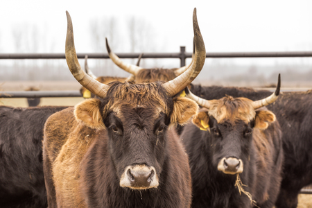Heckrinder, Kuh und Bullen auf winterlicher Weide mit Offenstall, Hinterzucht der Auerochsen, Naturpark Droemling, Sachsen-Anhalt, Deutschland