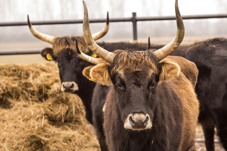 Heck cattle, cow and bulls on wintry pasture with open stablel, rear breeding of the Auerochsen, nature park Droemling, Saxonia-Anhalt, Germany Reklamní fotografie