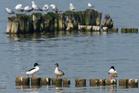 Goosander, Mergus merganser, Females us male, Summer plumage, at sea Germany