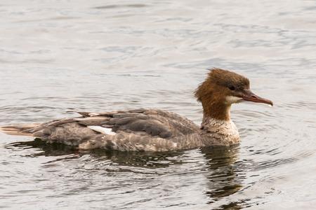 Goosander, Mergus merganser, female swimming on lake Germany Stock Photo