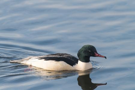 Goosander, Mergus merganser, breeding plumage, male swimming at sea Germany