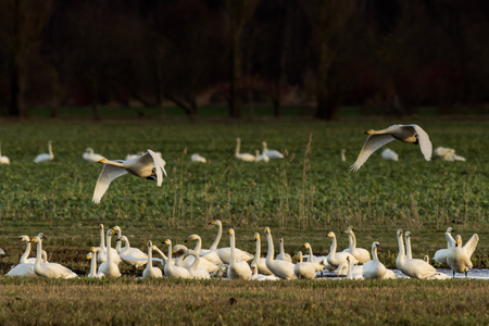Whooper swans, Cygnus cygnus, and cranes, Grus grus, in winter on a field in Mecklenburg-Vorpommern, Germany Stock Photo - 122190214