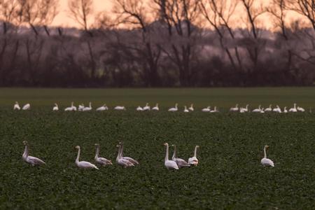 Whooper swans, Cygnus cygnus, in winter on a field in Mecklenburg-Vorpommern, Germany Stock Photo - 122190216