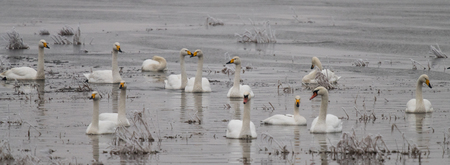 Whooper swans, Cygnus cygnus, in winter, Lower Oder Valley National Park, Brandenburg, Germany Stock Photo - 122190220