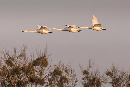 group of flying whooper swans, Cygnus cygnus, in winter, Lower Oder Valley National Park, Brandenburg, Germany