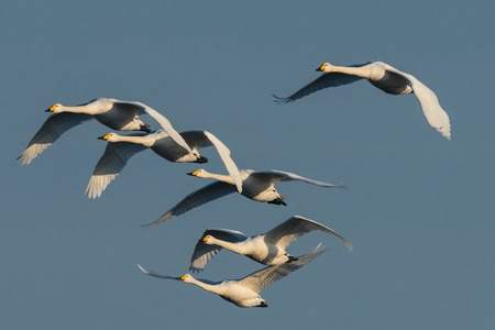group of flying whooper swans, Cygnus cygnus, in winter, Lower Oder Valley National Park, Brandenburg, Germany