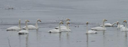 Whooper swans, Cygnus cygnus, in winter, Lower Oder Valley National Park, Brandenburg, Germany Stock Photo