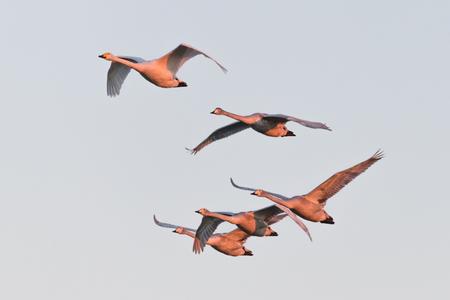 flying whooper swan, Cygnus cygnus, in winter, Lower Oder Valley National Park, Brandenburg, Germany Stock Photo