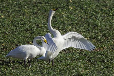 Whooper swans, Cygnus cygnus, in winter on a field in Schleswig-Holstein, Germany