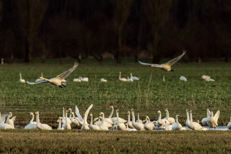 Whooper swans, Cygnus cygnus, and cranes, Grus grus, in winter on a field in Mecklenburg-Vorpommern, Germany Stock Photo - 122190309
