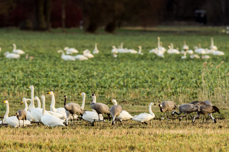 Whooper swans, Cygnus cygnus, and cranes, Grus grus, in winter on a field in Mecklenburg-Vorpommern, Germany