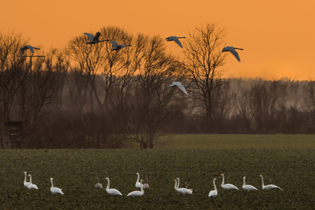 Whooper swans, Cygnus cygnus, in winter on a field in Mecklenburg-Vorpommern, Germany Stock Photo - 122190312