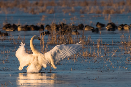 Whooper Swans , Cygnus cygnus, in winter, Lower Oder Valley National Park, Brandenburg, Germany Stock Photo - 122190320
