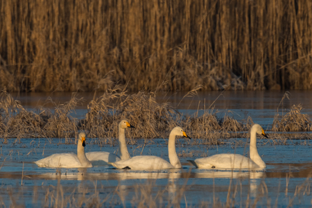 Whooper Swans , Cygnus cygnus, in winter, Lower Oder Valley National Park, Brandenburg, Germany Stock Photo
