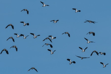 flock of European Northern Lapwing or Green Plover, Vanellus vanellus, in flight