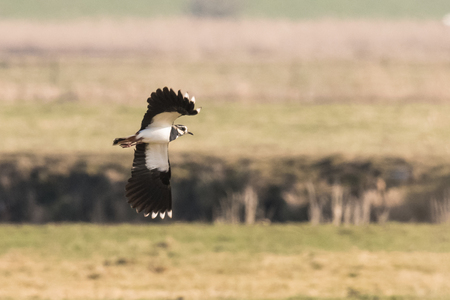 European Northern Lapwing or Green Plover, Vanellus vanellus, in flight