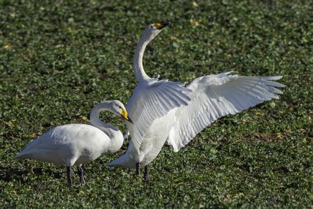 a pair of whooper swans, Cygnus cygnus, in winter on a field in Schleswig-Holstein, Germany